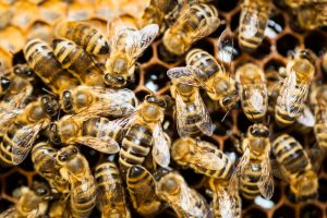 close-up of bees in a hive